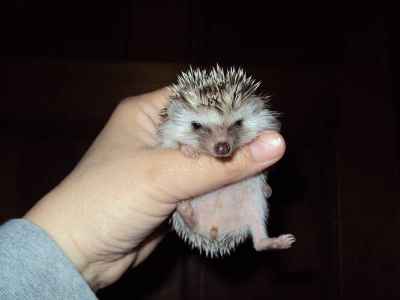 Long Eared Hedgehog